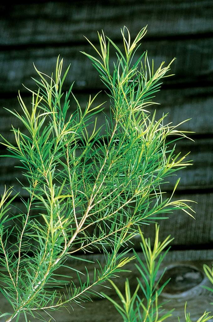 Масло чайного дерева от папилломы