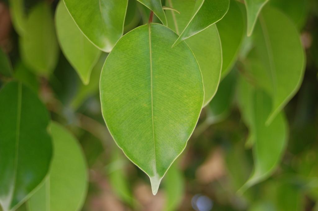 Листья фикуса для лечения тонзиллита дома