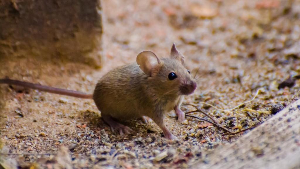 Характерные симптомы мышиной лихорадки